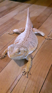 High end leatherback bearded dragon
