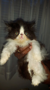Registered persian kittens