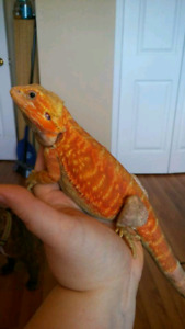 #2 High Quality Pair of Bearded Dragons