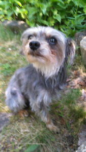 Yorkiepoo or miniature poodle or Yorkshire terrier wanted.