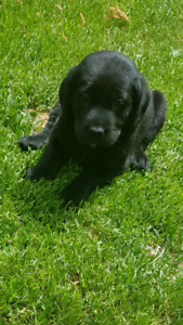Black Lab pups awesome hunting pups