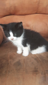 Kittens for sale Need gone ASAP!