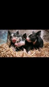 Purebred Berkshire Piglets for sale