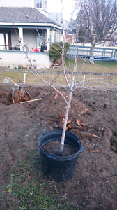 Pear tree for trade