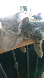 Cats (cat-Feline). Two brothers for sale! *MUST BUY BOTH*