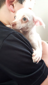 Chihuahua x chiweenie Puppies Green Eyes VACCINATED
