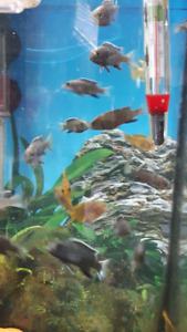 Acei Whitetail and Rusty Cichlids