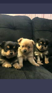 Pomchi Puppies (3males)