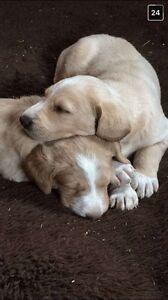 JS Doodles -Labradoodle Puppies