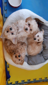 Tiny Maltipoo puppies