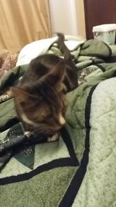 Selling lovely Tabby Kitten