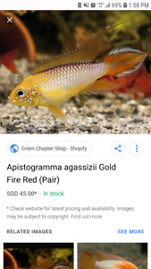 Looking for Fire Gold Apisto