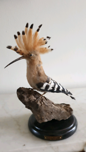 Taxidermy Hoopoe Bird