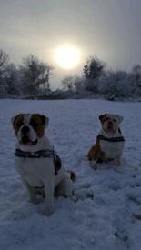 Xl American bulldog biggest best pups about