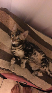 Stunning marble tica registered Bengal ready now