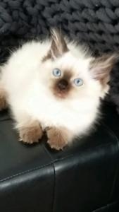 ragdoll kitten purebred male