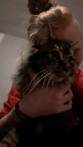 Male Maine Coon for rehoming
