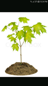 Looking for Maple trees, other nice trees to transplant