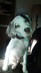 Registered English Pointer Pups