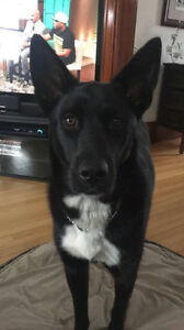 Paws for Love dog rescue has a 1-2 year old lab cross female