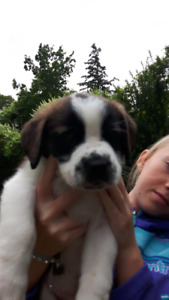 3/4 St. Bernard 1/4 Bull Mastiff pups for sale