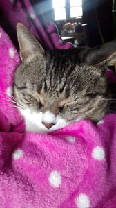 Missing Sweet Cat Kitchener / Waterloo Kitchener Area image 3