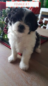 CHRISTMAS SHIH TZU PUPPIES AVAILABLE !