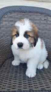 St Bernartd Puppies