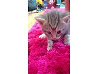 British short hair Bengal kitten
