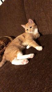 8 month old cat/kitten