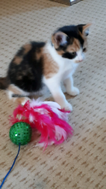 SOLD -Now only 2 Gorgeous Calico Playful Fluffy Kittens left For Sale