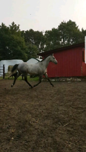 Beautiful OTTB For Sale OR Trade