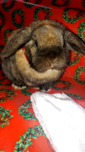 Free - Holland Lop In Need of a New Home