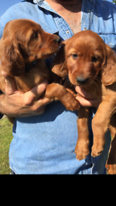 Purebred Irish Setter Puppies Ready to Rehome!
