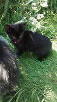 3 black kittens to give away to good homes