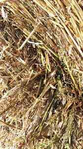 Millet bales for sale or trade