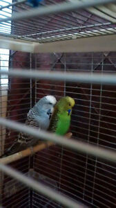 breeding pair of English budgies for sale