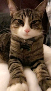 Lost Family cat (Big Billy)