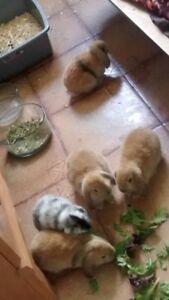 Bébés lapins Bélier nés le 1er mai
