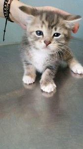 SPCA SEEKING FOSTER PARENTS!! SEEKING HOMES FOR KITTENS AND CATS