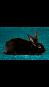 Free black rabbit