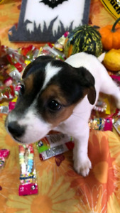 Chiot jackrussel