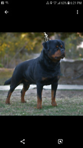 Looking for a pure bred German Rottweiler