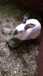 Looking for Californian or new Zealand rabbits