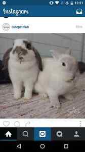 In search of bunnies to rent! $30/bunny pet hour!