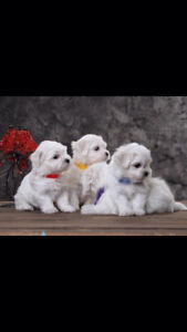 Pure bred Snow White Maltese puppies ❤️❤️❤️