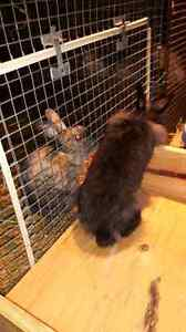 Mini Rex, lion head and cross bred rabbits for sale