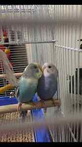 Cute birds for sale  Edmonton Edmonton Area image 1