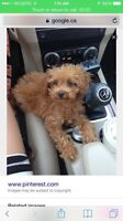 Looking for a tea cup poodle ( please contact )