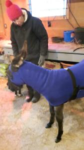 FLEESE   SLINKY   (XS)   will fit mini's  or donkeys